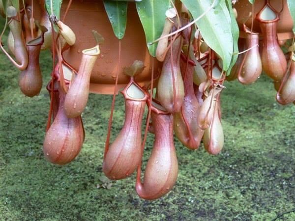 Carnivorous Plants Sri Lanka