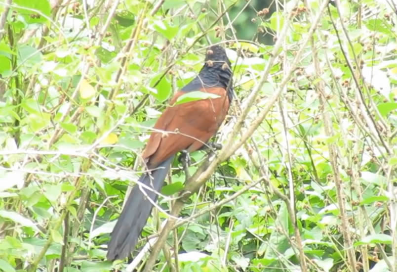 green bille coucal, Kandy city Tour, Sigiriya Sanctuary For Best Bird Watching in Sri Lanka