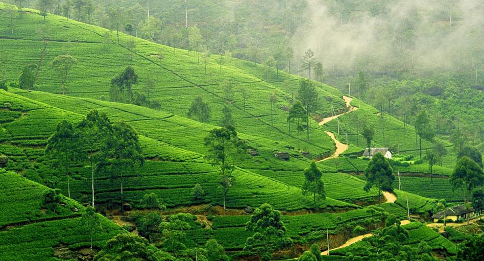 Tea estate nuwara eliya