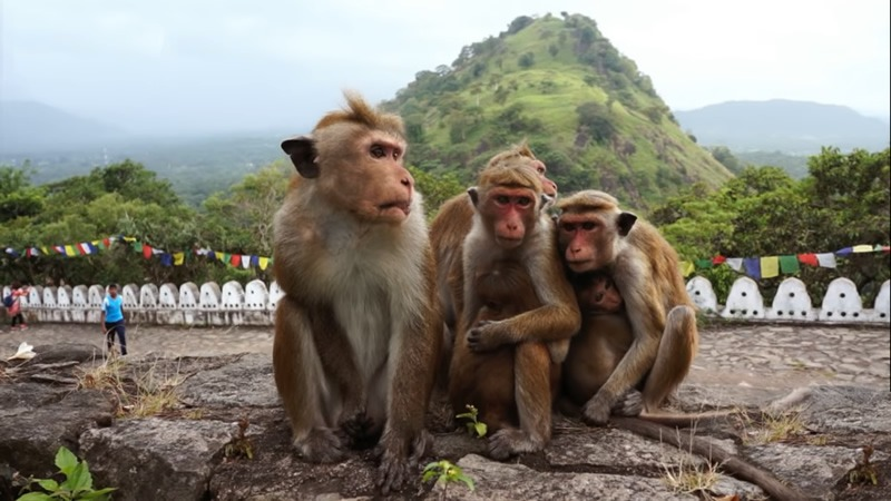 Dambulla monkeys, 3 days in Kandy
