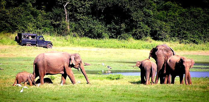 Minneriya National Park Safari  6 Days In Sri Lanka, sri lanka 6 days tour, sri lanka 6 days trip, sri lanka 6 day tour